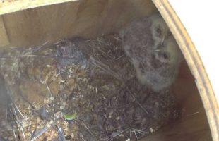 巣箱の中のフクロウ雛2羽