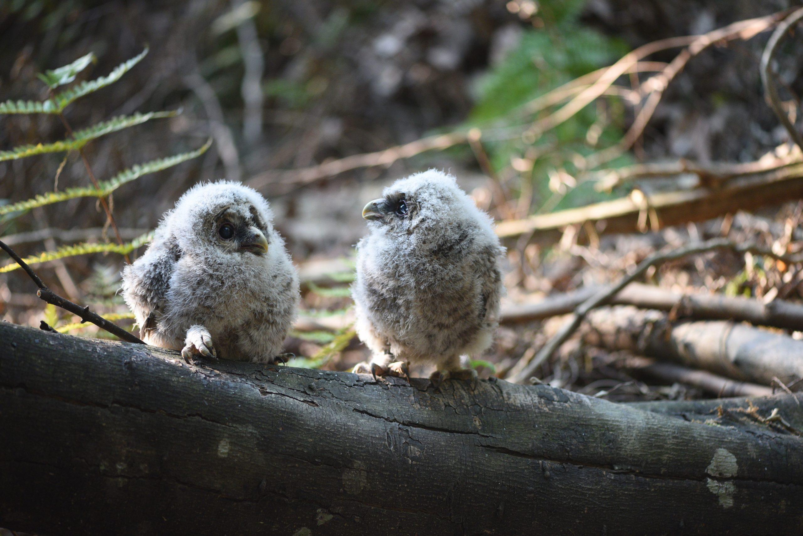 フクロウの雛2羽
